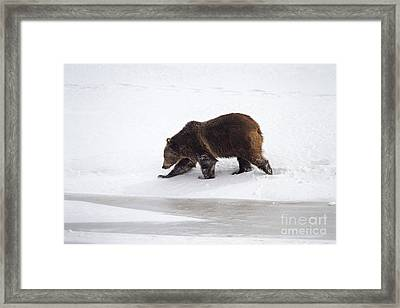 Grizzly Bear Walking In Snow Framed Print by Mike Cavaroc
