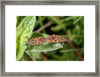 Ground Bugs Mating Framed Print by Bob Gibbons