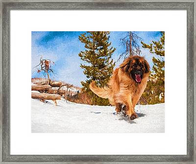 Happy Leonberger Winter Trail Running Framed Print by Gary Whitton