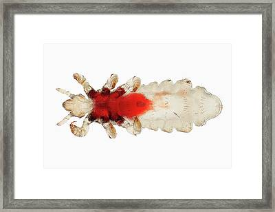 Head Louse Framed Print by Antonio Romero