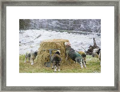Herdwick Sheep Feeding On Hay Framed Print by Ashley Cooper