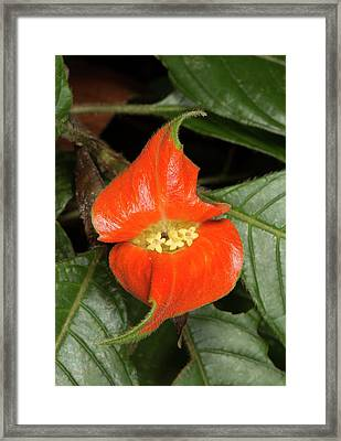 Hot Lips Plant (psychotria Poeppigiana) Framed Print by Dr Morley Read