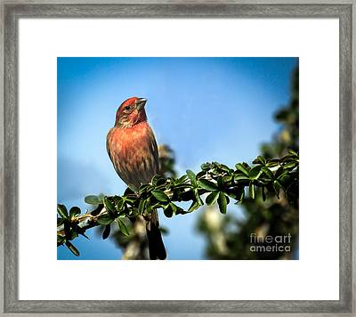 House Finch Framed Print by Robert Bales