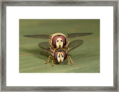Hover-flies Framed Print by Nigel Downer