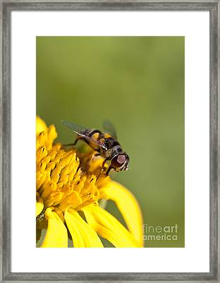 Hoverfly Macro On A Yellow Flower Framed Print by Brandon Alms