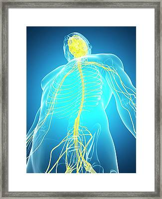 Human Nervous System And Brain Framed Print by Sebastian Kaulitzki