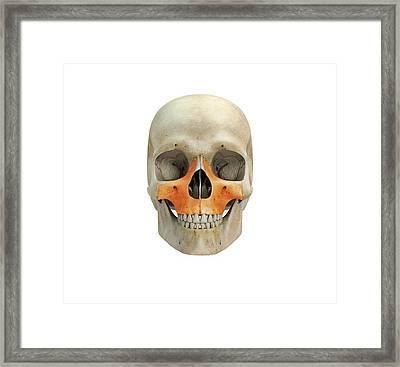 Human Skull And Maxilla Bones Framed Print by Mikkel Juul Jensen