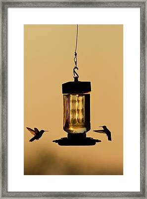 Hummingbirds At Feeder Before Sunrise Framed Print by Larry Ditto