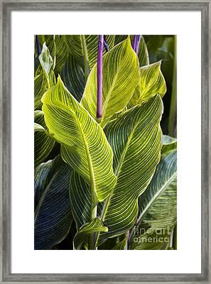 Indian Shot Plant Canna Striata Framed Print by Dr. Keith Wheeler