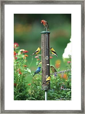 Indigo Bunting (passerina Cyanea Framed Print by Richard and Susan Day