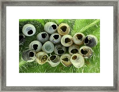 Insect Eggs On A Leaf Framed Print by Frank Fox
