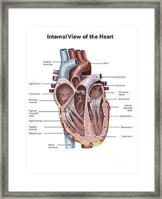 Internal View Of The Human Heart Framed Print by Alan Gesek