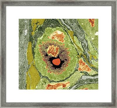 Intestinal Arteriole, Tem Framed Print by Science Photo Library