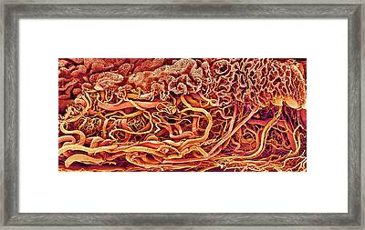 Intestinal Blood Vessels Framed Print by Susumu Nishinaga