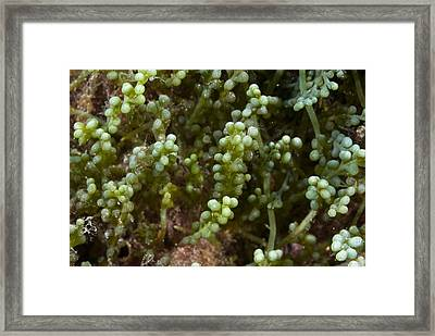 Invasive Seaweed Framed Print by Science Photo Library