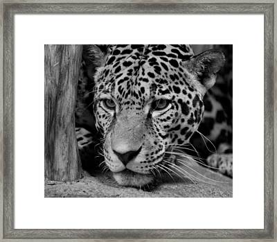 Jaguar In Black And White II Framed Print by Sandy Keeton