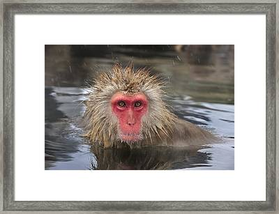 Japanese Macaque In Hot Spring Framed Print by Thomas Marent