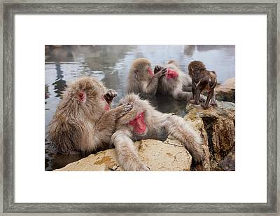 Japanese Macaque (macaca Fuscata Framed Print by Peter Adams