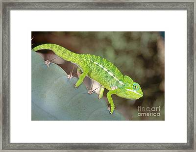 Jewel Chameleon Framed Print by Art Wolfe