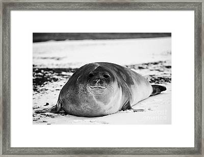 juvenile 2 year old elephant seal hannah point livingstone island Antarctica Framed Print by Joe Fox