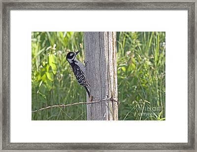Juvenile Hairy Woodpecker Framed Print by Linda Freshwaters Arndt