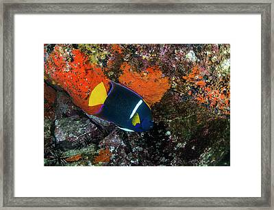 King Angelfish (holacanthus Passer Framed Print by Pete Oxford