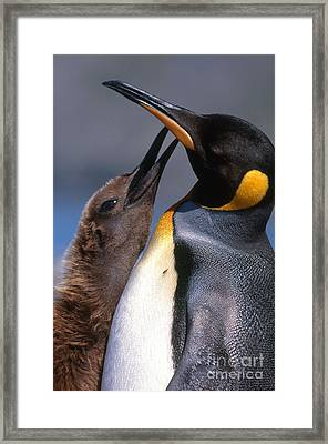 King Penguin With Chick Framed Print by Art Wolfe