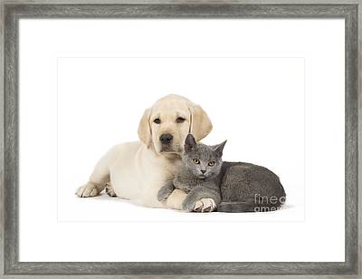 Labrador Puppy With Chartreux Kitten Framed Print by Jean-Michel Labat