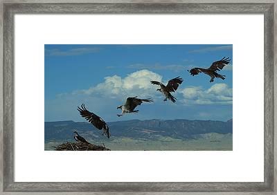 Landing Pattern Of The Osprey Framed Print by Ernie Echols