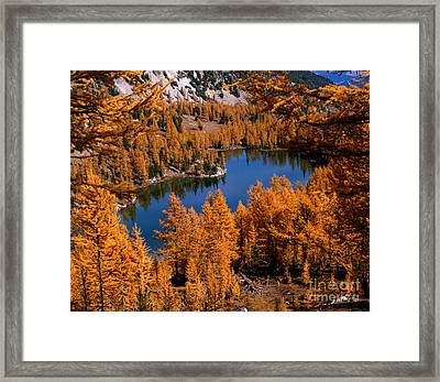 Larch Trees Around Cooney Lake Framed Print by Tracy Knauer