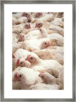 Large Number Of Hens In A Barn Framed Print by Aberration Films Ltd