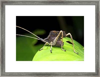 Leaf Mimic Bush-cricket Framed Print by Dr Morley Read