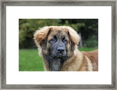 Leonberger Dog Framed Print by Johan De Meester