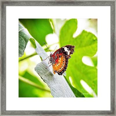Leopard Lacewing Butterfly Framed Print by Jane Rix