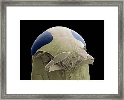 Lesser Water Boatman Framed Print by Steve Gschmeissner