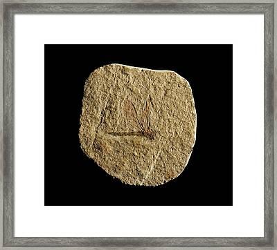 Libelluloidea Dragonfly Fossil Framed Print by Gilles Mermet