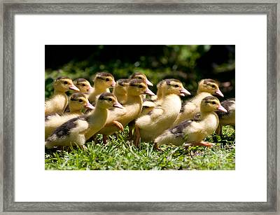 Yellow Muscovy Duck Ducklings Running In Hurry  Framed Print by Arletta Cwalina