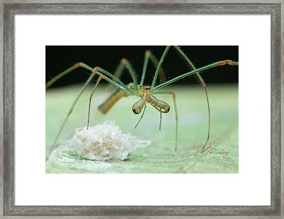 Long-jawed Orb Weaver And Eggs Framed Print by Melvyn Yeo