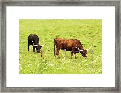 Longhorn Grazing In Green Pasture Framed Print by Piperanne Worcester