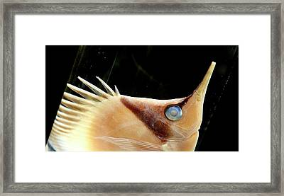 Longnose Butterflyfish Framed Print by Natural History Museum, London