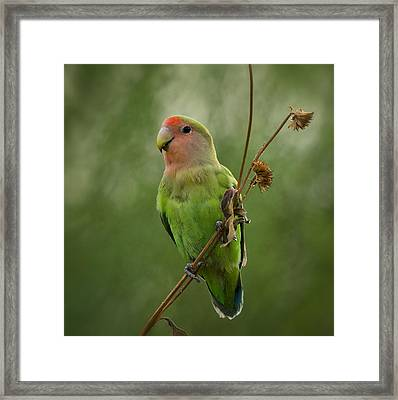 Lovely Little Lovebird  Framed Print by Saija  Lehtonen