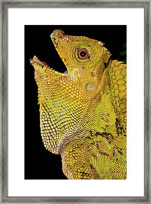 Malaysian Crested Dragon Lizard Framed Print by David Northcott