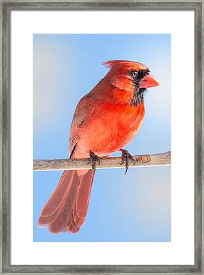 Male Cardinal Framed Print by Jim Hughes