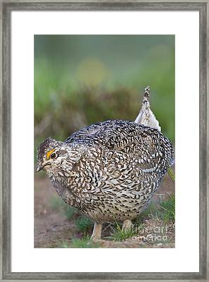 Male Columbian Sharp-tailed Grouse Framed Print by William H. Mullins