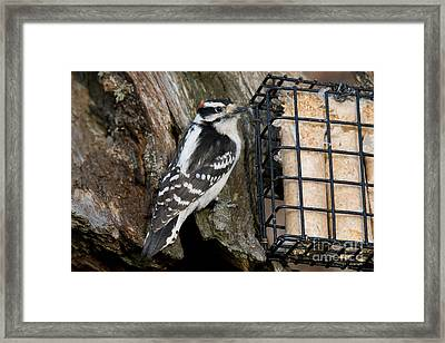 Male Hairy Woodpecker Framed Print by Linda Freshwaters Arndt