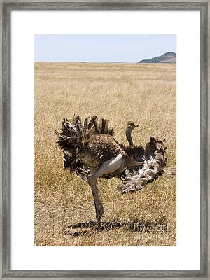 Male Ostrich Performing Distraction Framed Print by Gregory G. Dimijian, M.D.