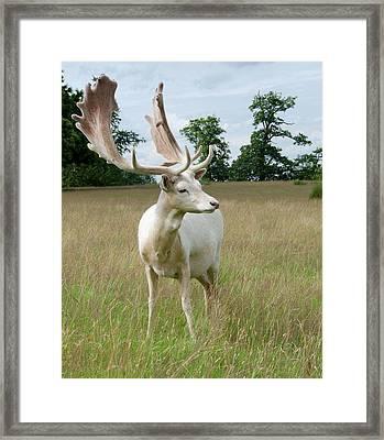 Male White Fallow Deer Framed Print by Nigel Downer