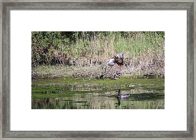 Mallard Landing Framed Print by James Hammen