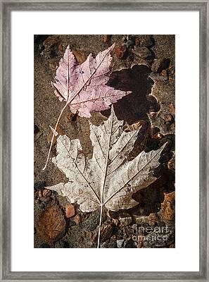 Maple Leaves In Water Framed Print by Elena Elisseeva