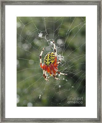 Marbled Orb Weaver Framed Print by Joshua Bales